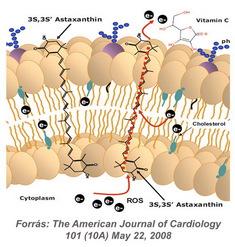 Az asztaxantin molekula beépül a sejtmembránba