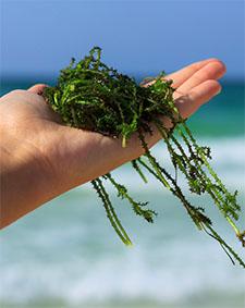 barnamoszat hínár alga tenger tabletta